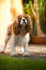 Cavalier King Charles Spaniel steht im Garten