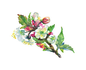 Watercolor blooming branch of apple tree. Hand drawn spring illustration on white background. Painting flowers