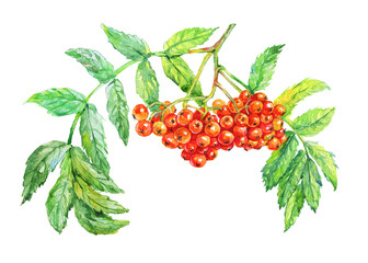 Hand drawn red rowan. Watercolor berries and branch on white background. Painting isolated illustration