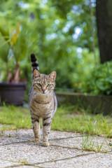 beauty wild cat walking in the garden