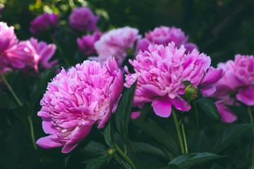 Peony flower pink summer flowerbed close up