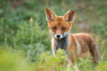 Little Red Fox stands in the grass. Close Up