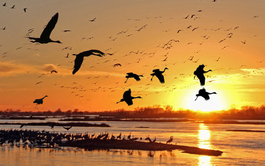 Migrating Sandhill Cranes along the Platte River in Kearney, Nebraska