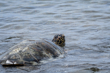 Hawaiian Green Sea Turtle in the shallow water of the Pacific Ocean swimming back out to the ocean from a beach in Kaloko-HonoKohau National Park, Hawaii