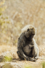 Baboon of Kenya