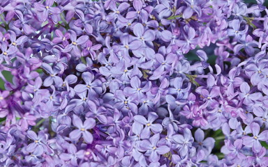 Wall Murals Lilac natural texture of lilac flowers background