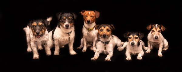 six funny cute little dogs sitting and standing by side in a row in front of black background - a pack of tricolor Jack Russell Terrier hounds