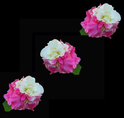 Confederate roses against a dramatic black background