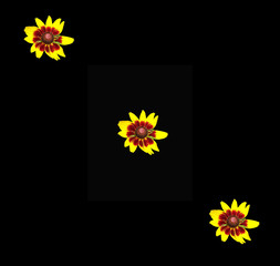 Three bronze and yellow Denver Daisy flowers on a dramatic black background
