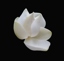 Isolated Magnolia Blossom (3) against a dramatic black background.