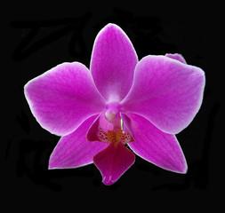 Fuchsia Phalaenopsis Orchid isolated against a dramatic black background.