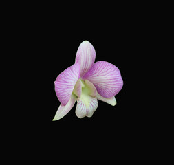Delicate Dendrobium Orchid against a dramatic black background