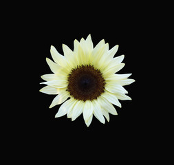 Dramatic white Sunflower isolated against a black background.