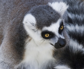 Lemur Head Shot
