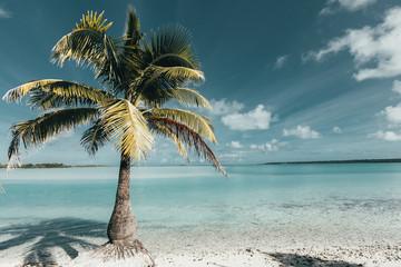 cook island palm tree