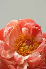 Close Up Of A Delicate Coral Peony