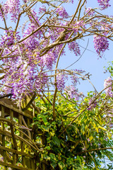 Beautiufl wisteria violet flowers blooming in the park, against blue sky