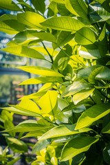 Orange tree leaves. Exotic plants, green, patterned background