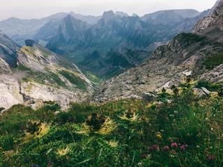 Wild Flowers in Switzerland's Alpstein Mountain Range