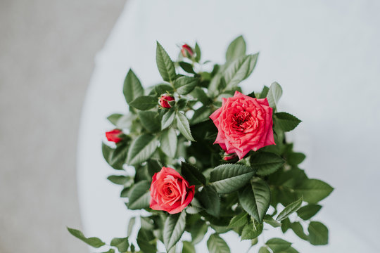A beautiful, bright red rose plant, green leaves and flowers on a plain white background.