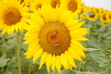 Sunflowers and bees close-up