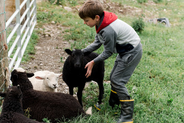 little boy playing with lambs