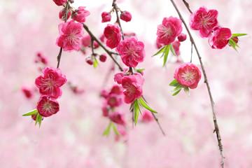 Magenta Cherry Flower