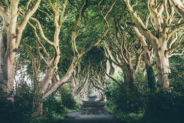 An empty road lined with intertwined beech trees known as The Dark Hedges, Northern Ireland.