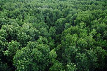 aerial view of dense mangrove swamp forest in southern Thailand.