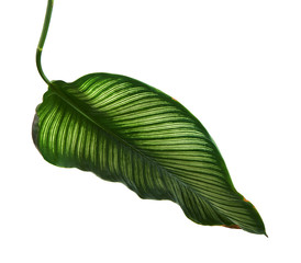 Calathea ornata (Pin-stripe Calathea) leaves, Tropical foliage isolated on white background, with clipping path