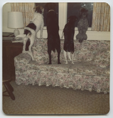 Pet dogs in a line looking out the window from the back of a couch in vintage photo