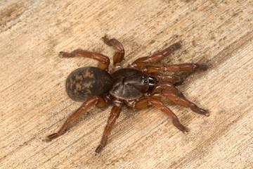 Brush footed spider, Tigidia sp, Barychelidae, Nandi hill, karnataka