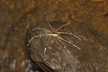 Fishing spider, Pisauridae, Agumbe ARRSC, Karnataka