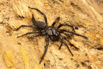Funnel web spider, Dipluridae, Jampue hills, Tripura