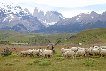 Sheeps at the ranch in Patagonia in Magallanes Region, southern Chile