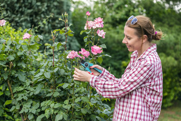 Maintenance of the Garden.Attractive Woman In Plaid Shirt Is Pruning Roses In Garden With Shears