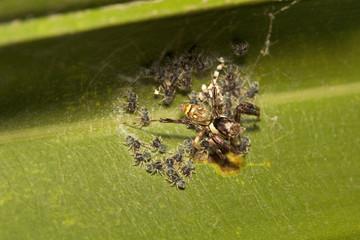 Jumping spider, Brettus sp, Salticidae, Bangalore