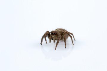 Jumping spider, Plexippus sp, Salticidae