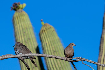 White-winged Dove (zenaida asiatica) and Mourning Dove (zenaida macroura), perched on a single branch in Arizona's Sonoran desert during springtime. Saguaro cactus is in the background.