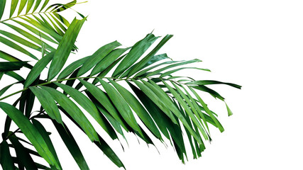 Wall Mural - Palm leaves, tropical rainforest foliage plant isolated on white background, clipping path included.