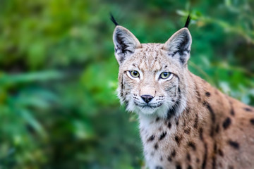 Spoed Fotobehang Lynx Wild Eurasian lynx cat curious and staring straight into the camera. Background of green leafs and trees out of focus due to shallow depth of field.