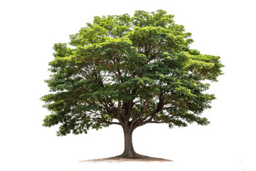 Rain tree isolated on white background.Tropical tree Wall mural