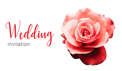 Wedding invitation text card template and red pink rose after the rain detail with several water droplets with a dramatic natural light illumination isolated on a seamless white background.