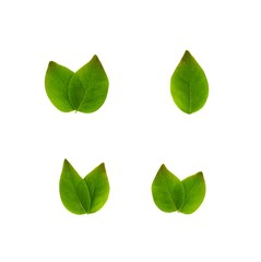 Fototapete - collection of green star gooseberry leaf isolated on white background