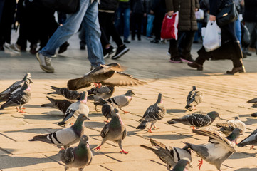 Group of pigeons walking on the pavement near people in Istanbul city, Turkey