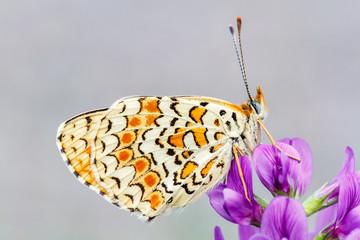 Mariposa. Melitaea phoebe. Doncella mayor.
