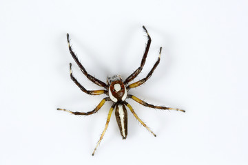Jumping spider, Telamonia dimidiata, Salticidae, Bangalore