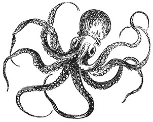 Octopus vulgaris #vector #isolated - Kraken