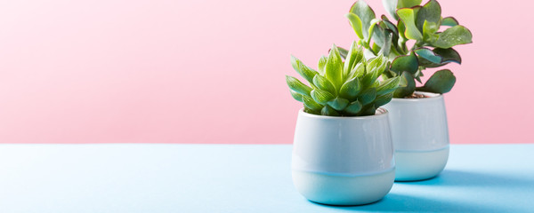 Two indoor plants succulent in gray ceramic pots on blue and pink background with copy space. Banner.