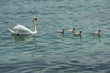 Schwan schwimmt mit vier Jungen im Genfersee, Genf, Schweiz